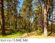 Купить «Сосновый лес», фото № 3848346, снято 10 сентября 2012 г. (c) Serg Zastavkin / Фотобанк Лори