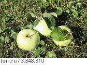 Купить «Три спелых антоновских яблока лежат на зеленой траве», эксклюзивное фото № 3848810, снято 7 августа 2011 г. (c) Ольга Липунова / Фотобанк Лори