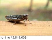 Большой кузнечик на деревянной доске. Стоковое фото, фотограф Алексей Кокоулин / Фотобанк Лори