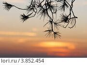 Силуэт сосновых веток на фоне закатного неба. Стоковое фото, фотограф Shlomo Polonsky / Фотобанк Лори