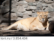 Купить «Африканская львица», фото № 3854434, снято 8 сентября 2012 г. (c) Matwey / Фотобанк Лори