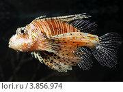 Купить «Рыба крылатка», фото № 3856974, снято 19 июля 2012 г. (c) Михаил Коханчиков / Фотобанк Лори