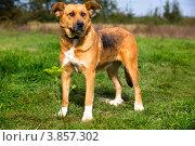 Купить «Собака на улице в солнечный летний день», фото № 3857302, снято 22 сентября 2012 г. (c) Николай Винокуров / Фотобанк Лори