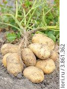 Клубни картофеля. Стоковое фото, фотограф Светлана Давыдова / Фотобанк Лори