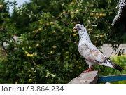 Голубь бакинский. Стоковое фото, фотограф Щербак Евгений Леонидович / Фотобанк Лори