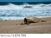 Купить «Мертвая черепаха на песке», фото № 3874794, снято 23 июня 2012 г. (c) Ludenya Vera / Фотобанк Лори