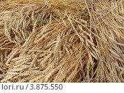 Колосья пшеницы. Стоковое фото, фотограф Виктор Четошников / Фотобанк Лори