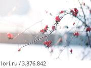 Ветка с красным шиповником. Стоковое фото, фотограф Елена Круглова / Фотобанк Лори