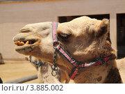 Купить «Верблюд», фото № 3885002, снято 5 июня 2012 г. (c) Хименков Николай / Фотобанк Лори