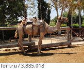 Купить «Верблюд», фото № 3885018, снято 5 июня 2012 г. (c) Хименков Николай / Фотобанк Лори
