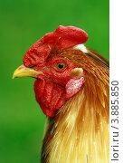 Купить «Голова петуха крупным планом», фото № 3885850, снято 9 августа 2012 г. (c) Olya&Tyoma / Фотобанк Лори