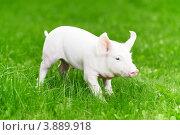 Молодой поросенок на зеленой траве. Стоковое фото, фотограф Дмитрий Калиновский / Фотобанк Лори