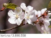 Купить «Ветка японской сакуры с цветами», фото № 3890558, снято 2 мая 2012 г. (c) Михаил Иванов / Фотобанк Лори