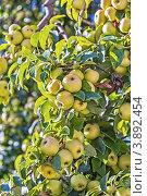 Купить «Богатый урожай яблок. Ветки яблони, усыпанные спелыми яблоками», фото № 3892454, снято 9 сентября 2012 г. (c) Владимир Сергеев / Фотобанк Лори