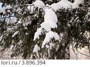 Ветка ели в снегу. Стоковое фото, фотограф Татьяна Саламахина / Фотобанк Лори