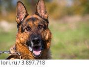 Купить «Портрет крупным планом собаки породы немецкая овчарка на фоне парка», фото № 3897718, снято 28 сентября 2012 г. (c) Николай Винокуров / Фотобанк Лори