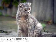 Вислоухая кошка. Стоковое фото, фотограф Дмитрий Ворона / Фотобанк Лори