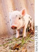 Маленький поросенок на ферме. Стоковое фото, фотограф Сергей Фигурный / Фотобанк Лори