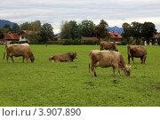 Купить «Баварская деревня Швангау (Schwangau). Коровы на выпасе», эксклюзивное фото № 3907890, снято 27 сентября 2012 г. (c) Татьяна Лата / Фотобанк Лори