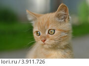 Рыжий котенок. Стоковое фото, фотограф Мария Кобылина / Фотобанк Лори