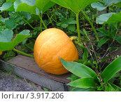 Тыква обыкновенная (Cucurbita pepo) Стоковое фото, фотограф lana1501 / Фотобанк Лори