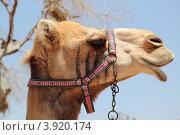 Купить «Верблюд», фото № 3920174, снято 5 июня 2012 г. (c) Хименков Николай / Фотобанк Лори