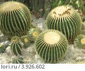 Семья кактусов. Стоковое фото, фотограф Елена Верховых / Фотобанк Лори