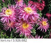 Сиреневые мохнатые хризантемы. Стоковое фото, фотограф Елена Верховых / Фотобанк Лори
