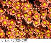 Красно-бело-желтые хризантемы. Стоковое фото, фотограф Елена Верховых / Фотобанк Лори