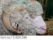 Купить «Племенной баран», фото № 3929346, снято 14 октября 2012 г. (c) Наталья Волкова / Фотобанк Лори