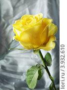Жёлтая роза на абстрактном фоне. Стоковое фото, фотограф Оксана Мурзина / Фотобанк Лори