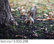 Купить «Бельчонок около дерева», фото № 3933298, снято 14 октября 2012 г. (c) Victoria Demidova / Фотобанк Лори