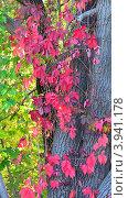 Виноград на дереве осенью. Стоковое фото, фотограф Дмитрий Розкин / Фотобанк Лори