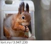 Купить «Рыжая белка сидит в кормушке и ест семечки», фото № 3947230, снято 20 октября 2012 г. (c) Наталья Волкова / Фотобанк Лори