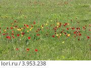 Купить «Дикие тюльпаны в Ростовском государственном природном биосферном заповеднике», эксклюзивное фото № 3953238, снято 21 апреля 2012 г. (c) Rekacy / Фотобанк Лори