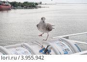 Купить «Чайка ходит по парому», фото № 3955942, снято 6 июля 2012 г. (c) Александр Хорхордин / Фотобанк Лори