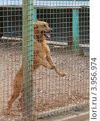 Купить «Бездомная собака на выгуле в приюте для бездомных животных», фото № 3956974, снято 7 сентября 2012 г. (c) Елена Мусатова / Фотобанк Лори