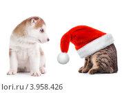 Купить «Щенок сибирского хаски смотрит на кота в красной новогодней шапке», фото № 3958426, снято 8 сентября 2011 г. (c) Евгений Захаров / Фотобанк Лори