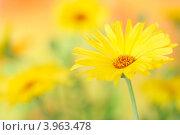 Цветок календулы. Стоковое фото, фотограф kiyanochka / Фотобанк Лори