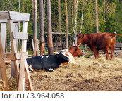 Купить «Коровы черно-пестрой породы, завезенной в последние десятилетия из Западной Европы. Монастырская ферма (о. Валаам, Валаамский архипелаг)», фото № 3964058, снято 21 мая 2012 г. (c) Анна Мишина / Фотобанк Лори