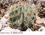 Купить «Кактус крупным планом», фото № 3966670, снято 15 июня 2012 г. (c) Юрий Брыкайло / Фотобанк Лори