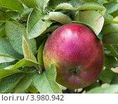 Купить «Красное яблоко сорта Ред Делишес на ветке», фото № 3980942, снято 1 сентября 2012 г. (c) Ирина Кожемякина / Фотобанк Лори
