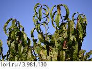 Ветви  груши на фоне голубого неба. Стоковое фото, фотограф Иванна Кошка / Фотобанк Лори