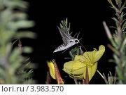 Ночной мотылек на цветке. Стоковое фото, фотограф Тарасенко Татьяна / Фотобанк Лори