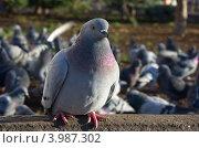 Купить «Голубь», эксклюзивное фото № 3987302, снято 27 октября 2012 г. (c) Елена Коромыслова / Фотобанк Лори