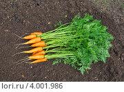 Купить «Свежая морковь на грядке», эксклюзивное фото № 4001986, снято 12 августа 2012 г. (c) Елена Коромыслова / Фотобанк Лори