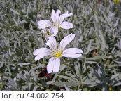 Купить «Ясколка войлочная (Cerastium tomentosum)», эксклюзивное фото № 4002754, снято 5 июня 2012 г. (c) lana1501 / Фотобанк Лори