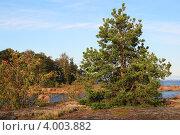 Сосна на каменном острове. Стоковое фото, фотограф Ольга Киселева / Фотобанк Лори