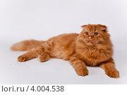 Рыжий кот породистый шотландский длинношерстный вислоухий на белом фоне. Стоковое фото, фотограф Мария Егунева / Фотобанк Лори