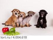 Китайские хохлатые щенята. Стоковое фото, фотограф Мария Егунева / Фотобанк Лори